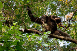 Modern chimpanzees hunt, and they can be very aggressive.  What about Bigfoot?