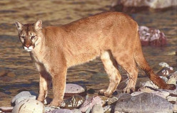 The eastern subspecies of the cougar has been declared extinct, but many believe it still exists.  Like Bigfoot, it is a rare and elusive animal.