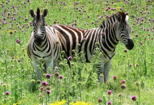 Zebras agains green background