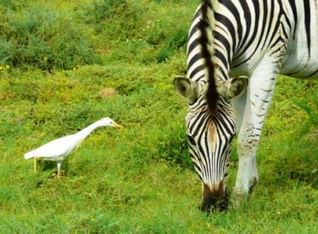 Cattle Egret and Zebra