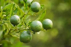 Oranges—Healthy Eating