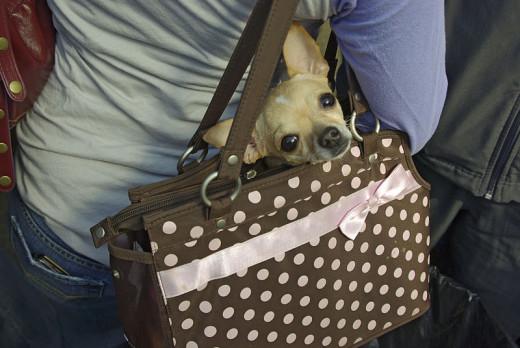 Chihuahua dog in a purse.