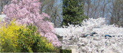 Ornamental Cherry Trees: Weeping versus Standard