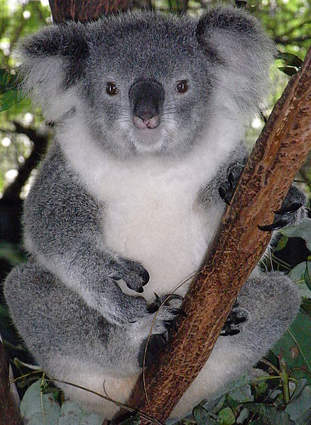Female friendly koala