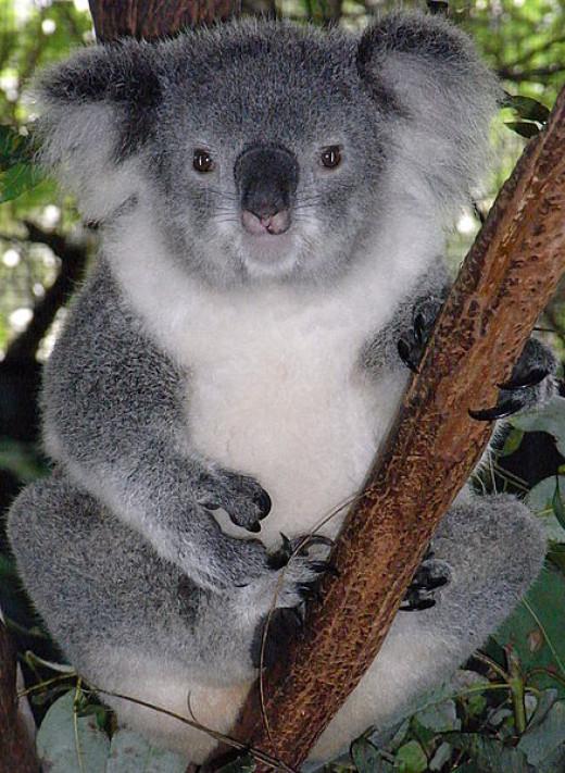 Female friendly koala