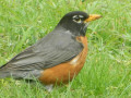 The Familiar and Well-Known American Robin