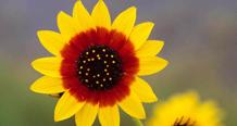 The rare Pecos Sunflower at Bitter Lake.