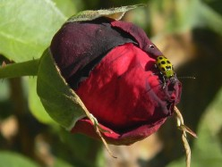 Spider in a Blemished Rose