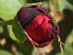 Spider in a Blemished Rose