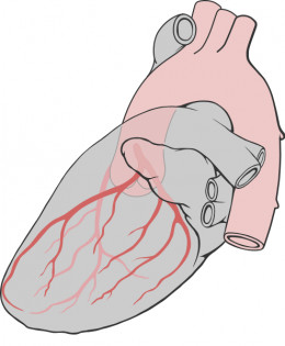 The heart showing the coronary arteries that supply it's own blood.