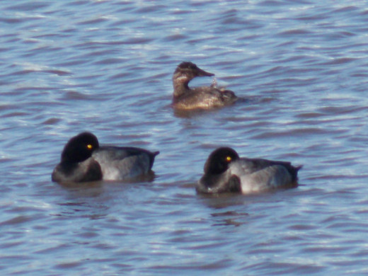 Female Ring-necked Duck(top) with Greater Scaups