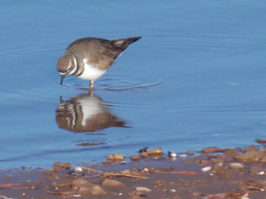 Killdeer and Its Reflection
