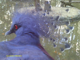 Beautiful comb of the Blue Crowned Pigeon