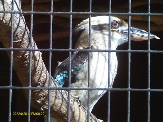 Kookaburro-Australia