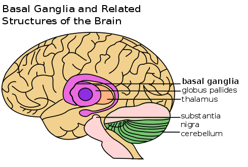 Cross section of the human brain showing the location of the substantia nigra region.