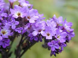 The appropriately named heliotrope flower. Can you guess what color the heliotrope is?