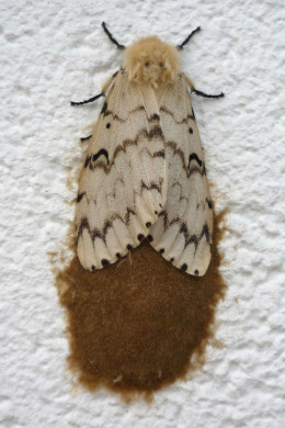 Female gypsy moth laying egg mass