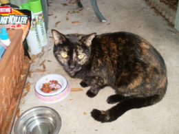 Triscuit, my neighbor's cat who has forsaken them and adopted me.