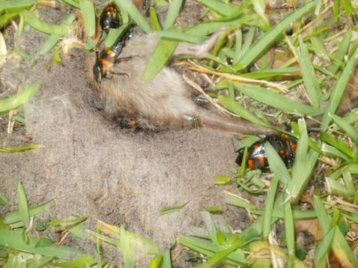 The orange and black bugs are American Burying Beetles