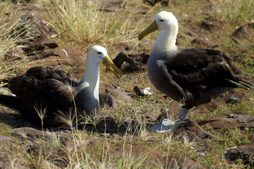 Waved albatross, breeding pair, Galapagos