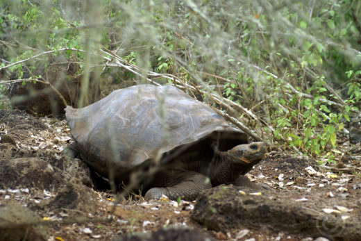 Giant Tortoise, Cristobal, Galapgos