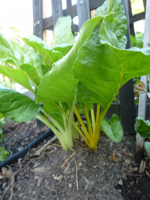 With the heat of a Missouri summer, this chard is thriving with part shade from the bean trellis.