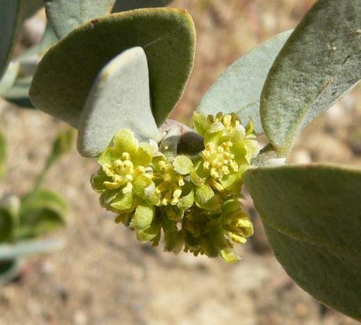 The Jojoba plant can be male or female but very rarely hermaphrodites (both male and female).