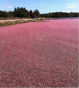 Ripe Cranberries float in a bog, ready to be scooped up my mechanical harvesters.