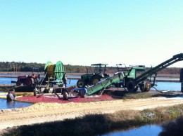 Commercial cranberry harvesters scoop the floating berries where they float on the flooded bog.