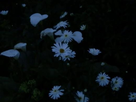 white flowers after dark