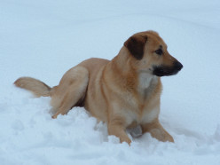 Chinook Dog Picture