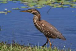 The Striated Heron