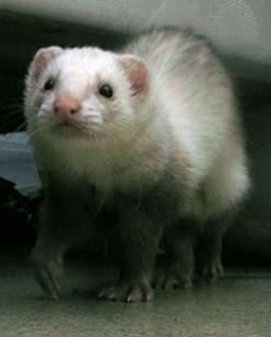 everything you need to know as a ferret owner