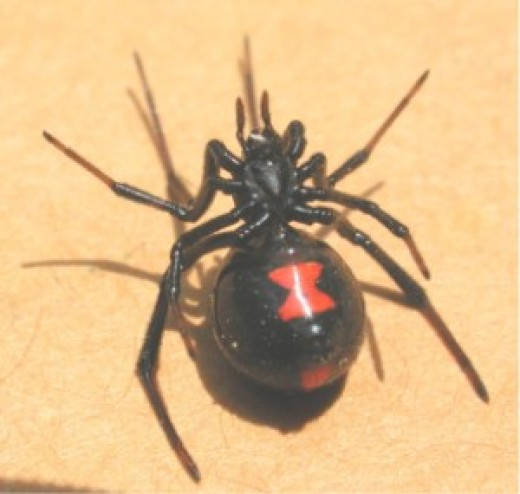 red back spider bites pictures. This spiders bite is painful
