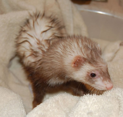 ferret after bath