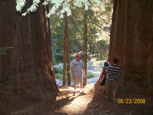 Walking between two giant sequoia trees.