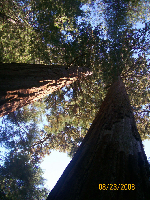 Looking up to the top of the trees.