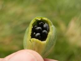 daffodil seeds