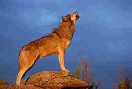 Wolf Howling At The Moon animals.howstuffworks.com