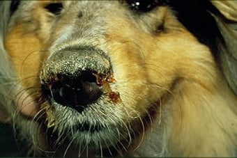 Dog suffering from distemper