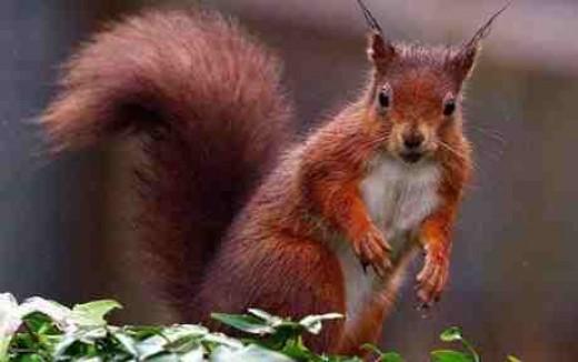 Red Squirrel Good luck Omen telegraph.co.uk