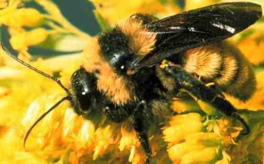 Bumble Bee public domain
