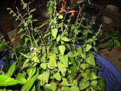 Hardly marijuana – a half vast horticultural project