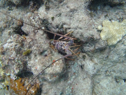 A Bahamian Lobster