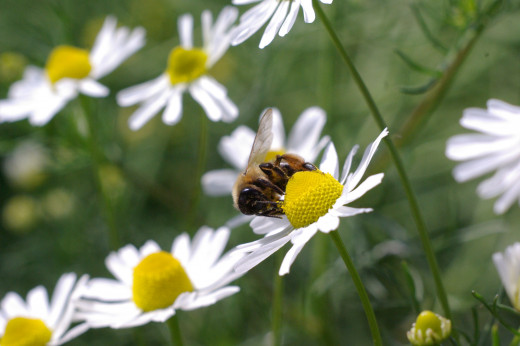 A chamomile flower with a honey bee collecting nectar.