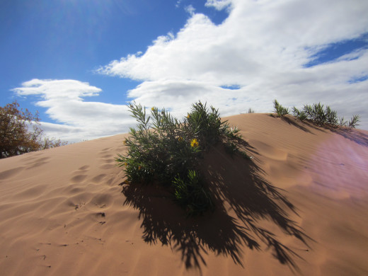 A yellow daisy survives on a dune in  Utah's Coral Pink Sand Dunes State Park