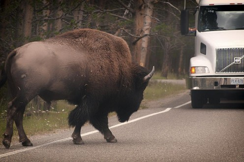 Drive with care.  Large animals frequent the roads in northern states and remote areas.