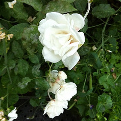 White Roses in the Flower Dome