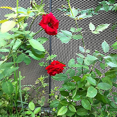 Red Roses in the Flower Dome