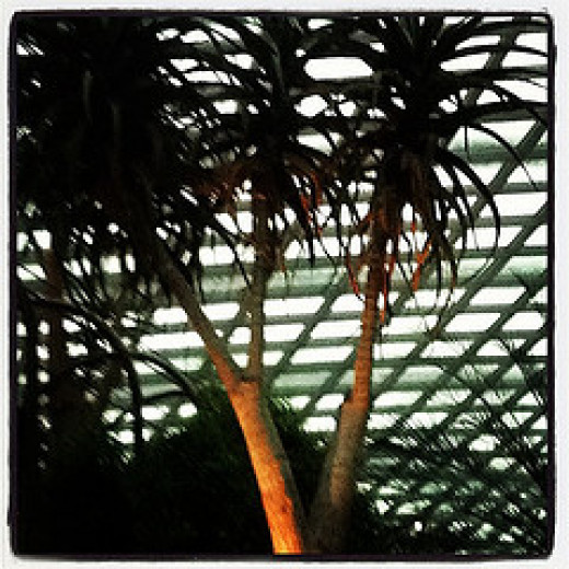 The New Zealand Cabbage Tree